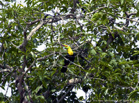 Keel Billed Toucan (4)