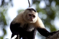 White faced capuchin monkey  (4)