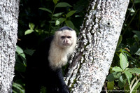 White faced capuchin monkey  (5)