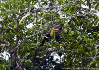 Keel Billed Toucan (3)