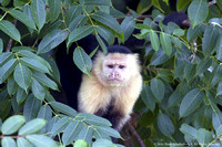 White faced capuchin monkey  (7)