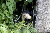 White faced capuchin monkey  (3)