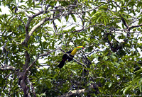 Keel Billed Toucan (5)