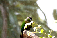 Nanday-Conure---South-America