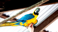 Blue-&-Gold-Macaw---South-America