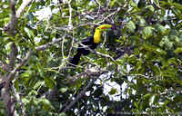 Keel Billed Toucan (2)